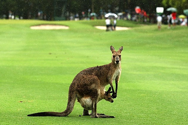 Kangaroo in Palmyra?